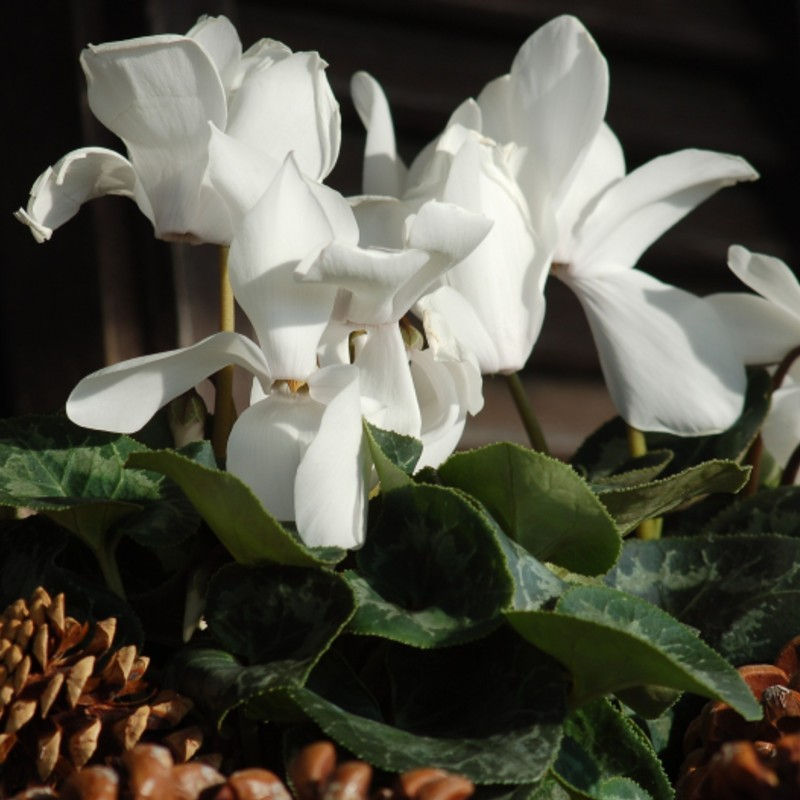 Tips For Taking Care Of A Cyclamen