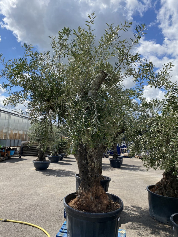 Olea Europea Ramif 60-100cm (Pot size) photo