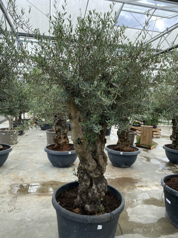 Olea Europaea Ramif 170LT - Approx 2.5m in height