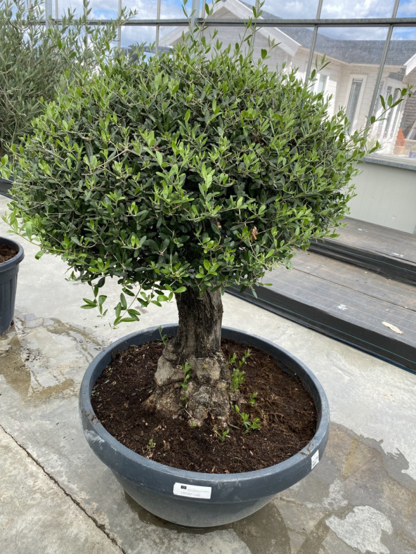 Olea Europaea 'Bola Tarrina' 160LT photo