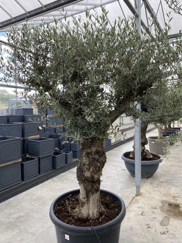Olea Europaea Ramif 170LT - Approx 2.5m in height photo